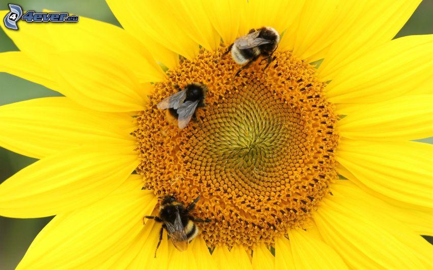 pszczoły, słonecznik