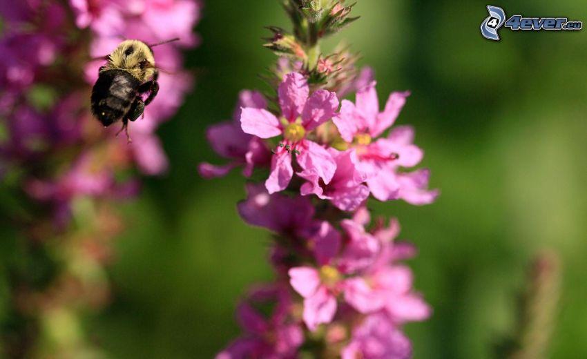 trzmiel, fioletowy kwiat