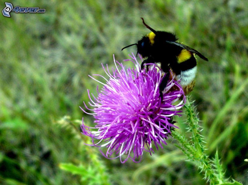 trzmiel, kwiat