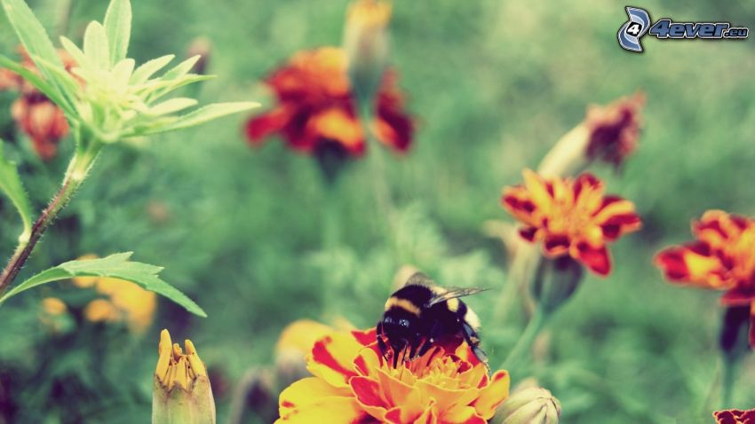 trzmiel, kwiaty
