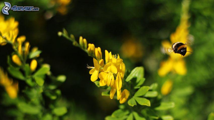 trzmiel, żółte kwiaty