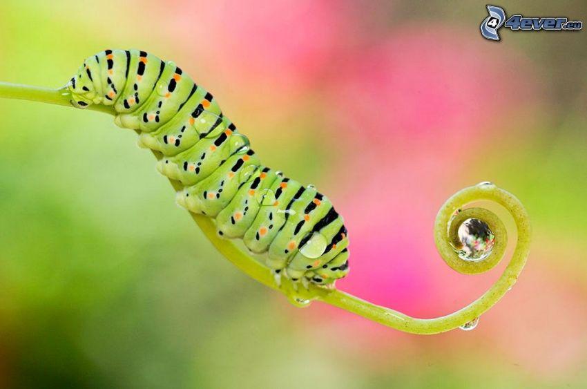 zielona gąsienica, łodyżka