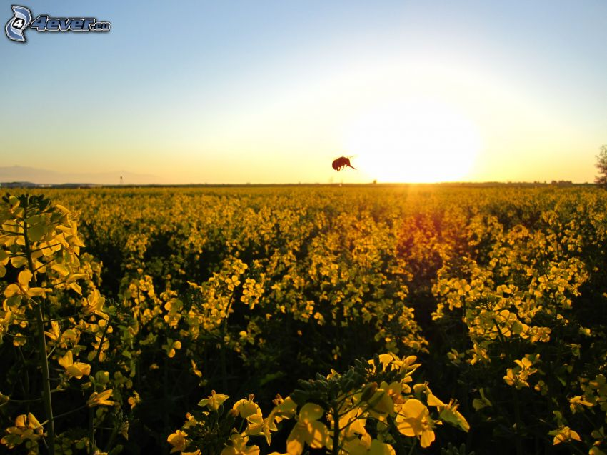 żółte kwiaty, pole, pszczoła, wschód słońca