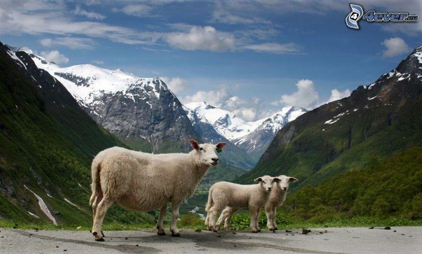 owce, jagniątka, widok na dolinę, góry