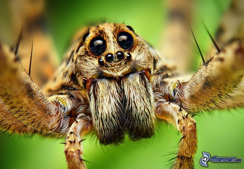 pająk, oczy