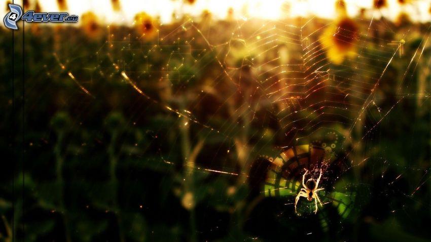 pająk na pajęczynie, zachód słońca