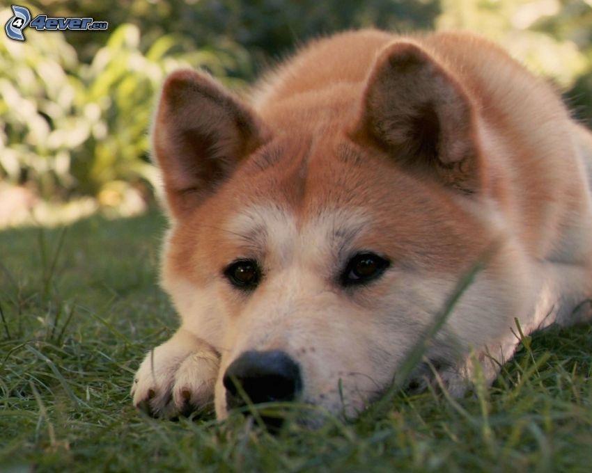 Akita Inu, pies na trawie, psie spojrzenie