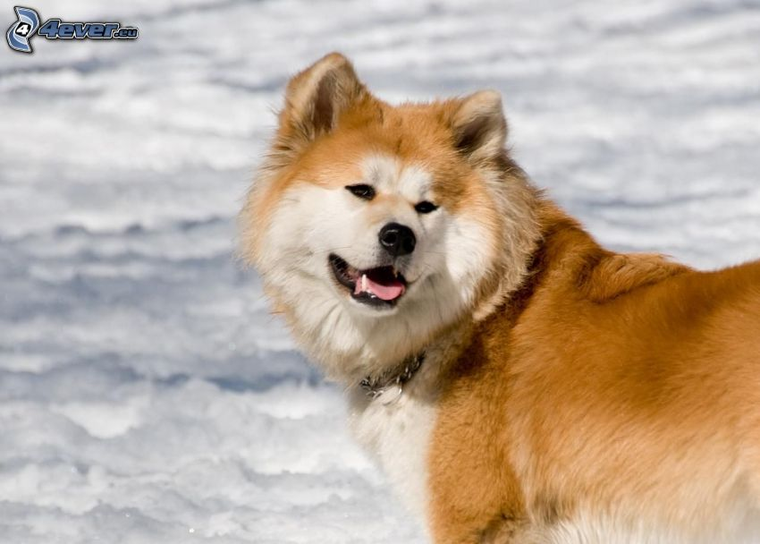 Akita Inu, śnieg