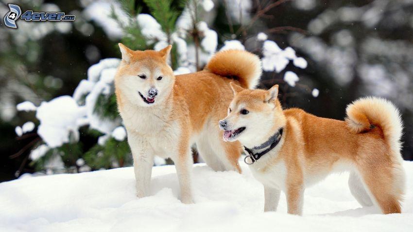 Akita Inu, szczeniaki, śnieg