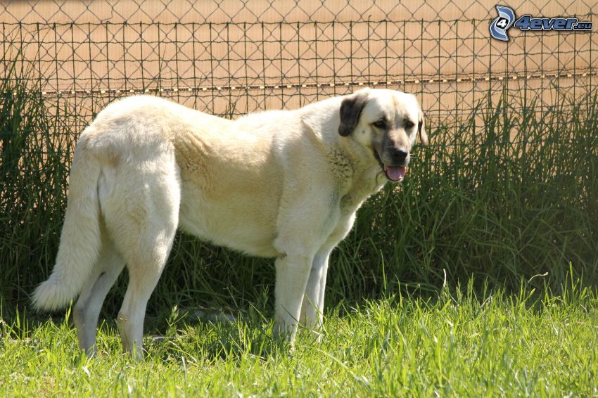 Anatolian pies pasterski, wysoka trawa, płot