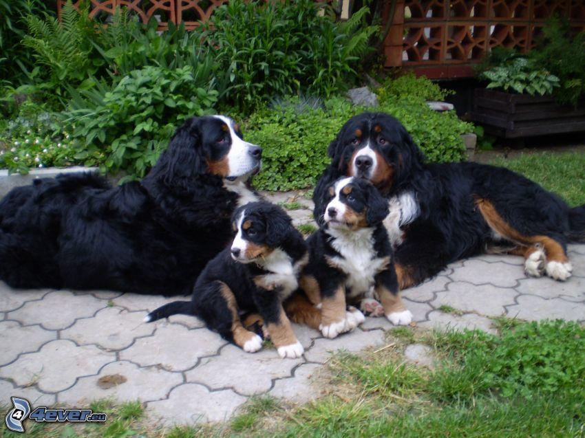 berneński pies pasterski, rodzina, szczeniaki Berneńskiego psa