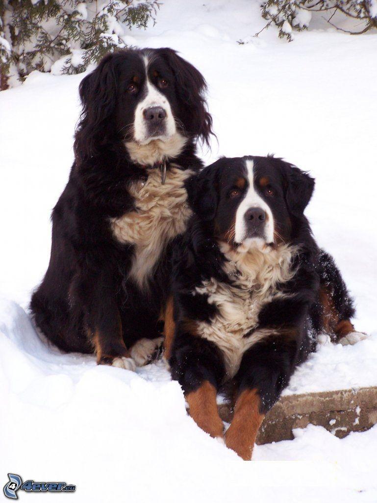 berneński pies pasterski, śnieg