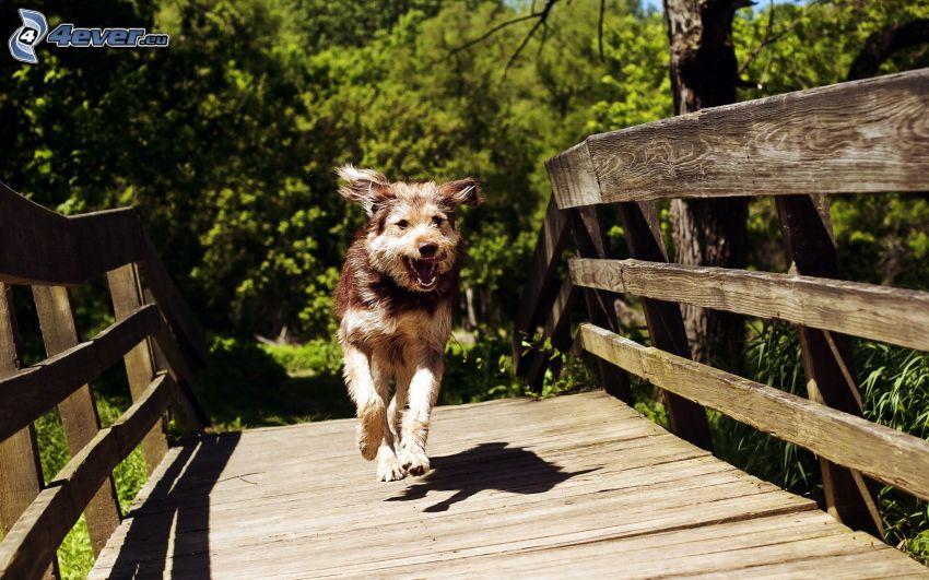 biegnący pies, drewniany most