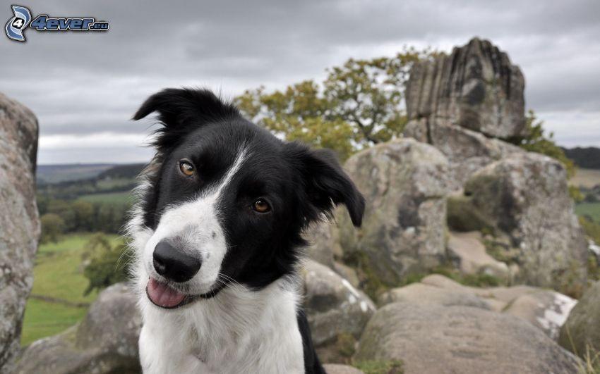 Border Collie, psie spojrzenie, skały