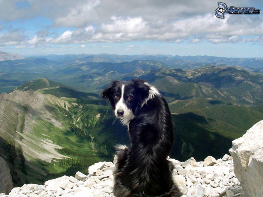 Border Collie, widok na krajobraz, widok ze skał