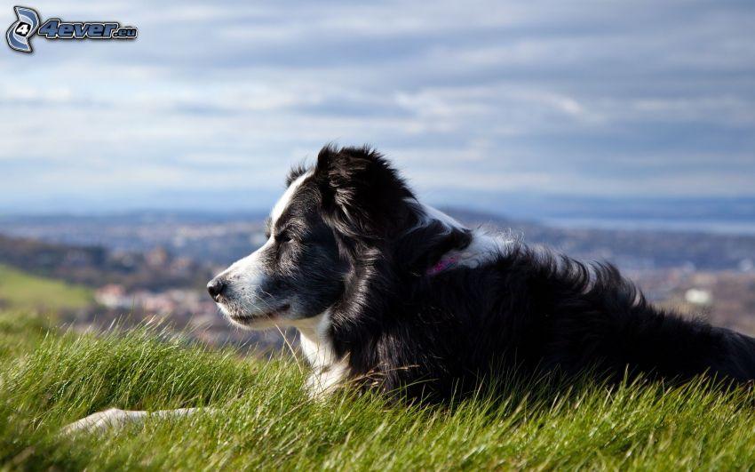 Border Collie, zielona trawa