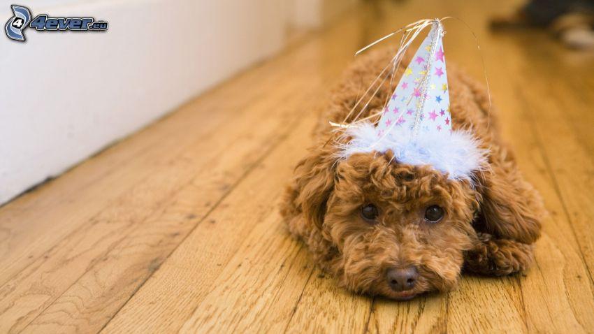 brązowy pies, czapka