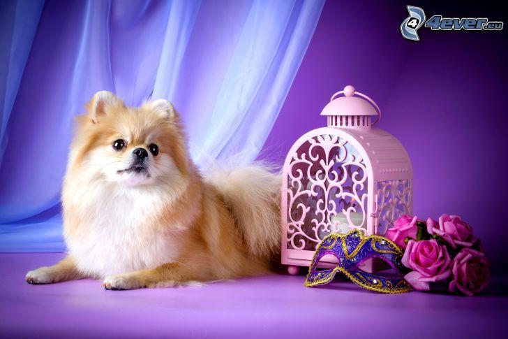 brązowy pies, latarnia, maska, różowe róże