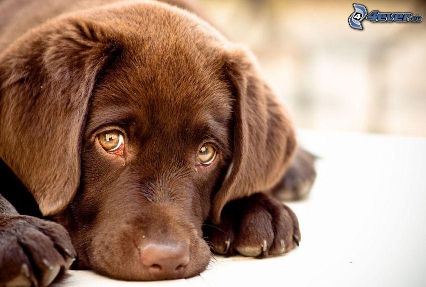 brązowy szczeniak, smutny pies