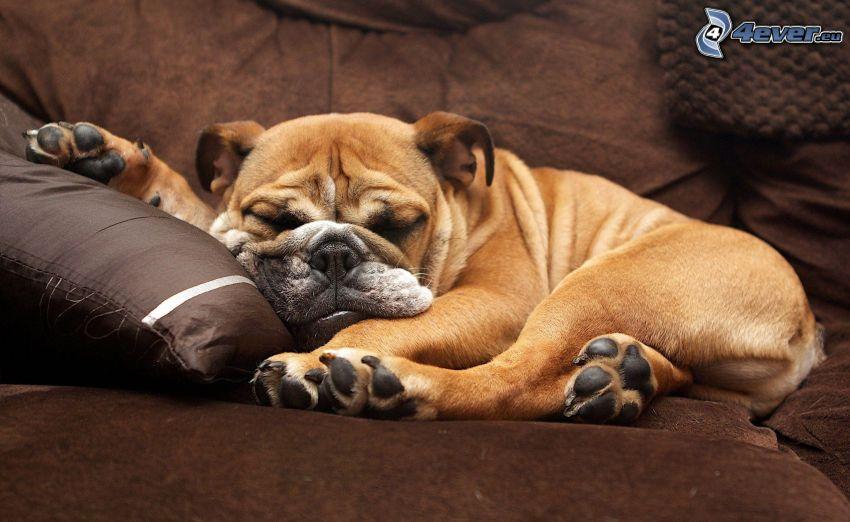 Buldog angielski, śpiący pies