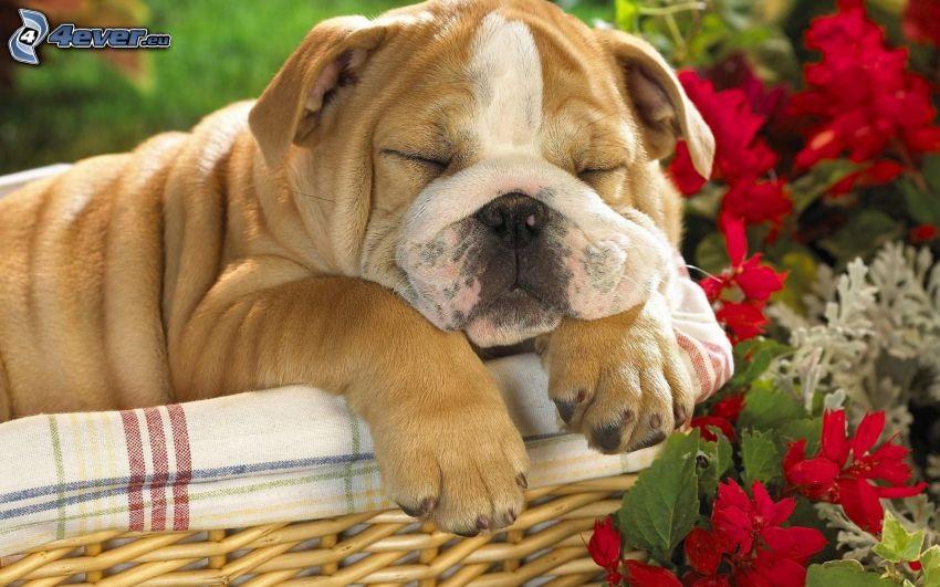 Buldog angielski, szczeniak buldoga, śpiący pies, pies w koszyku, kwiaty