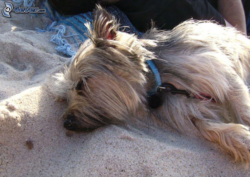 cairn terrier, spanie, piasek