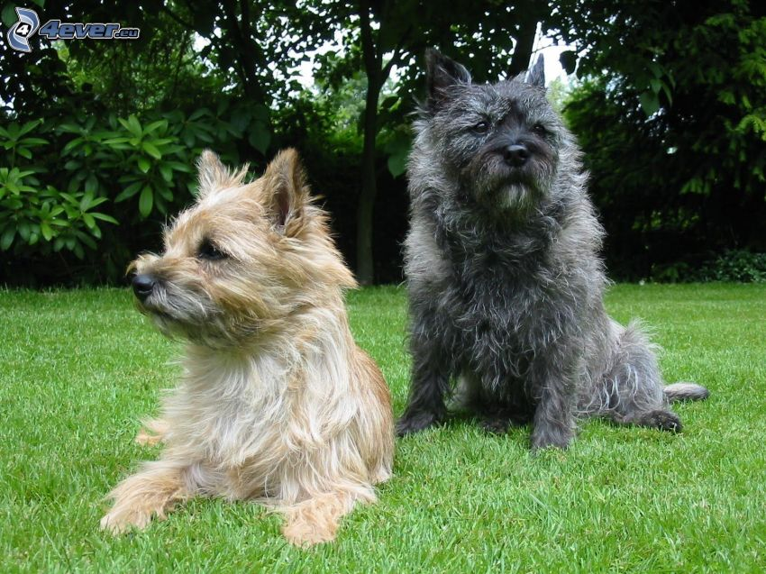 cairn terrier, trawnik, drzewa