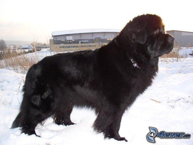 czarny pies, pies na śniegu