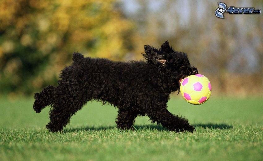 czarny pies, piłka