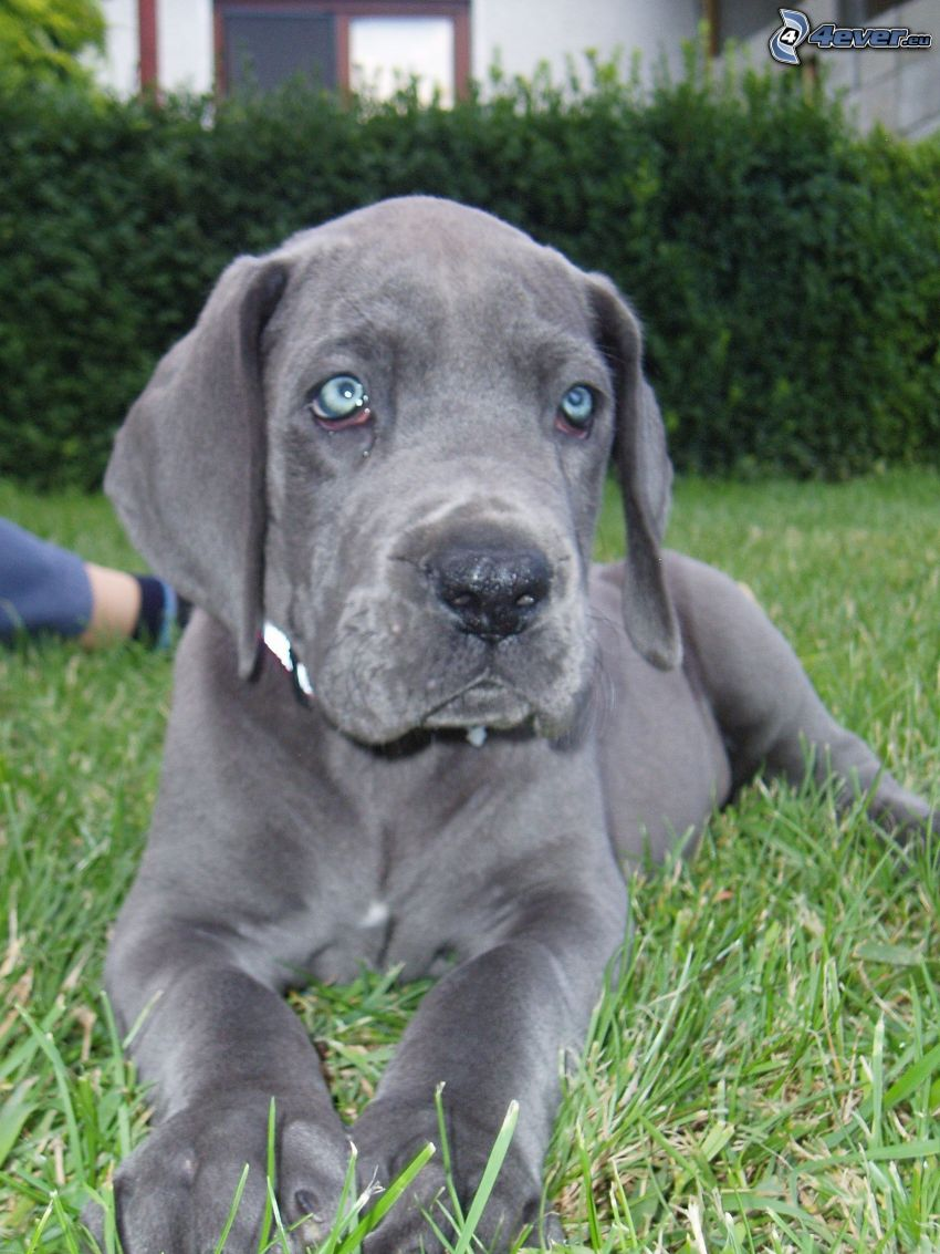czarny szczeniak, niebieskie oczy, pies na trawie