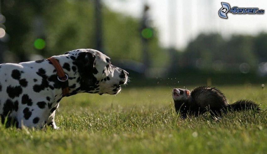 Dalmatyńczyk, fretka, trawnik