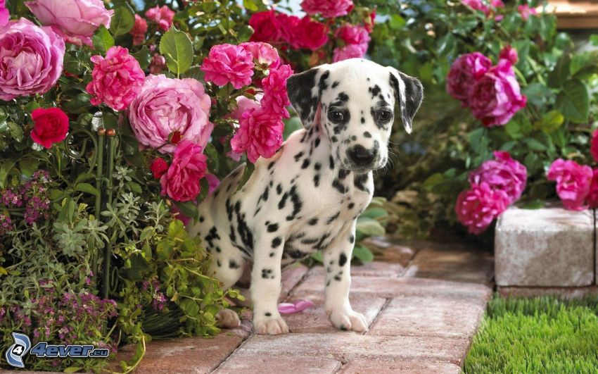 Dalmatyńczyk, różowe kwiaty