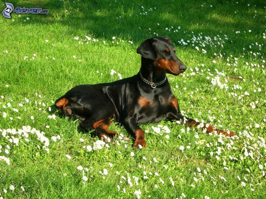 doberman, pies w trawie