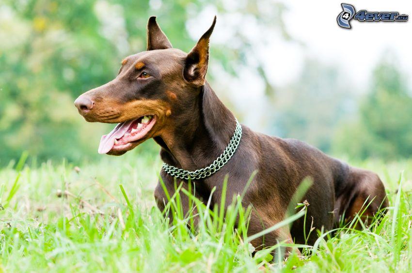 doberman, wystawiony język, pies w trawie