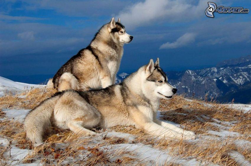 dwa psy, Syberian husky, śnieg, widok na krajobraz