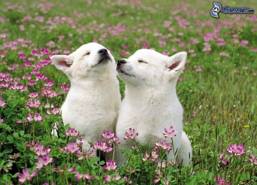 dwa psy, szczeniaki, fioletowe kwiaty