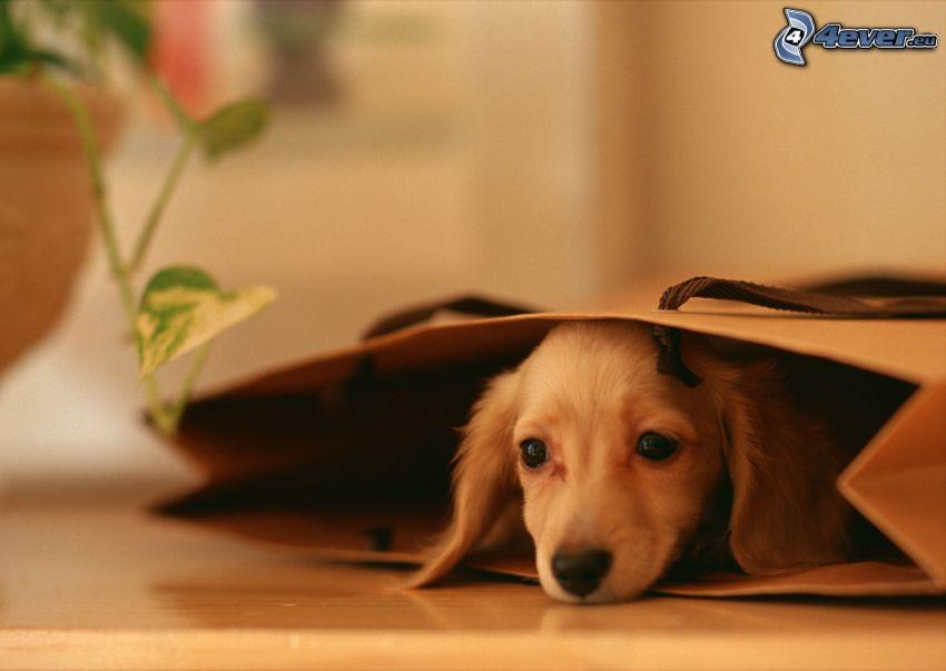 jamnik w torbie, szczeniak w torbie