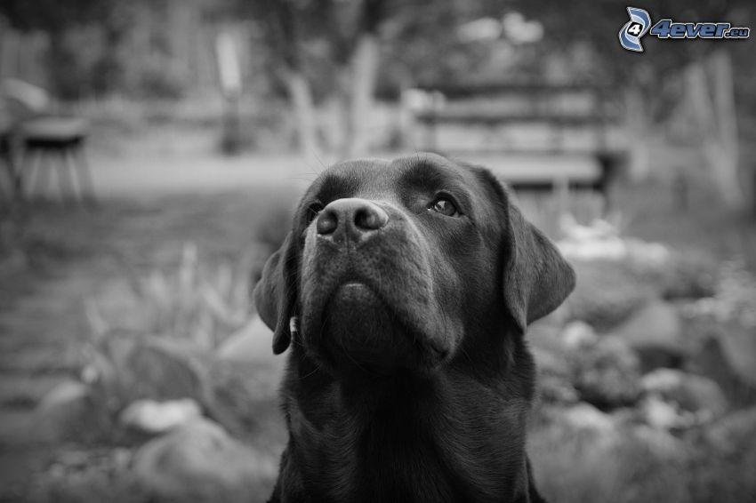 Labrador, czarno-białe zdjęcie