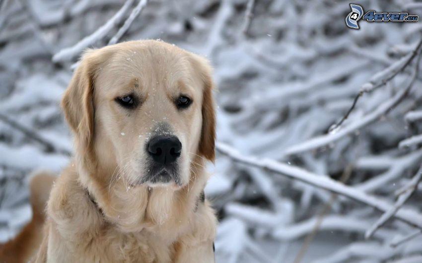 Labrador, śnieg