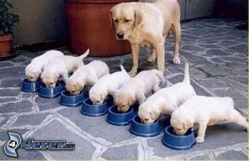 Labrador, szczeniaki, karmienie