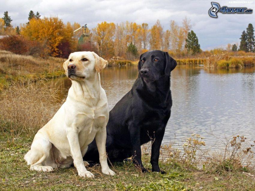 Labrador retriever, jezioro, jesienne drzewa