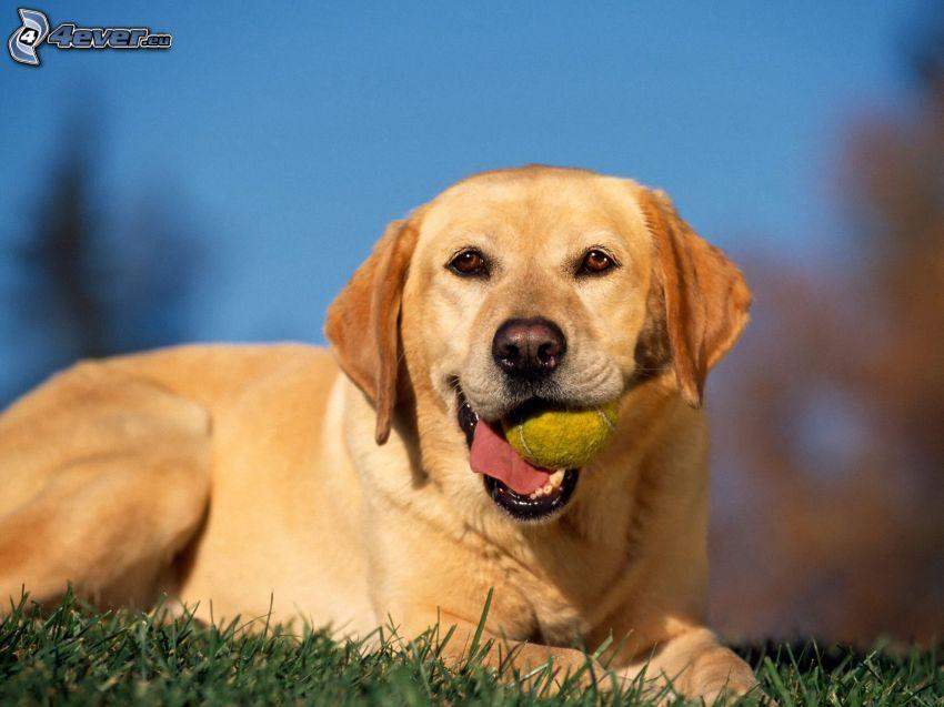 Labrador retriever, piłeczka tenisowa