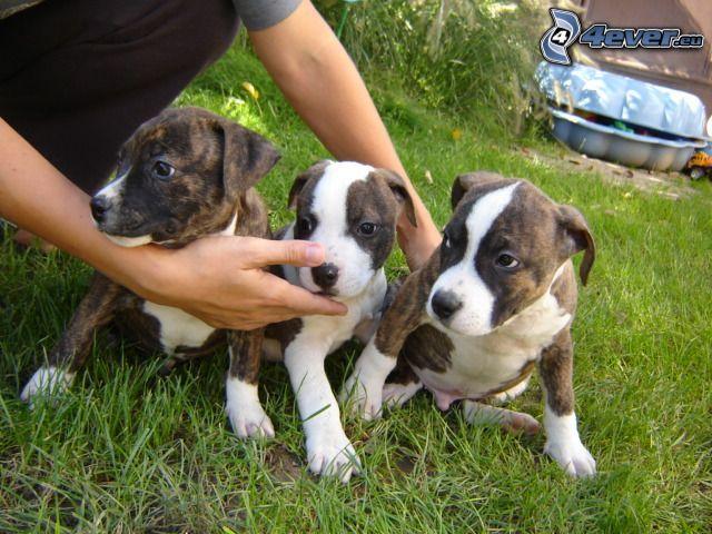 małe psy