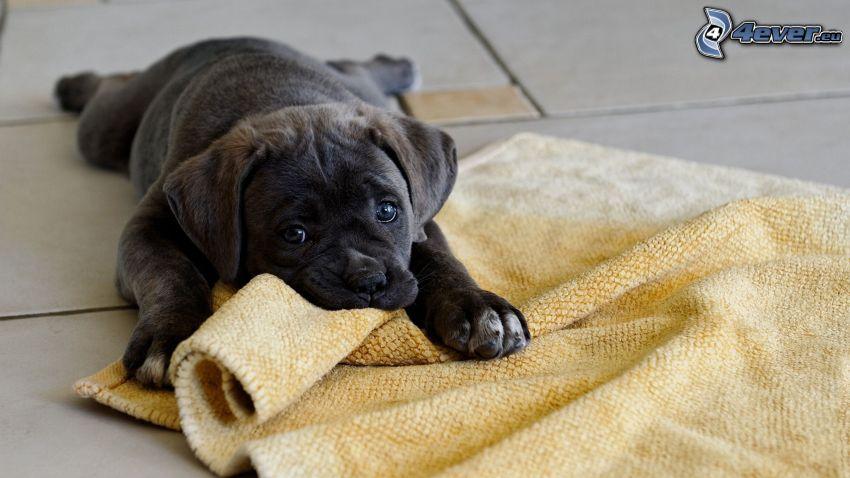 mały czarny szczeniak, dywan