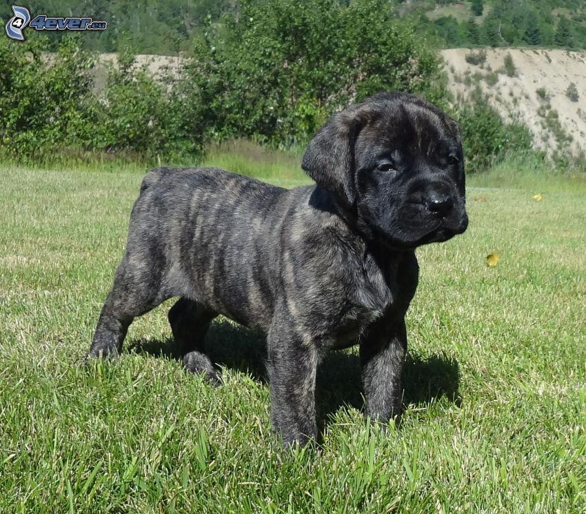 Mastif angielski, czarny szczeniak