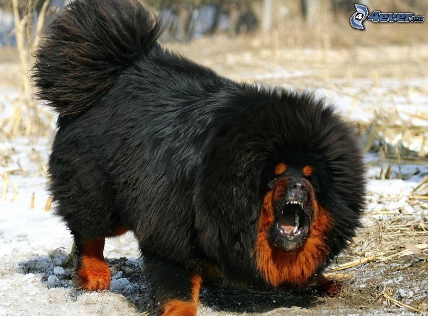 Mastif tybetański, gniew