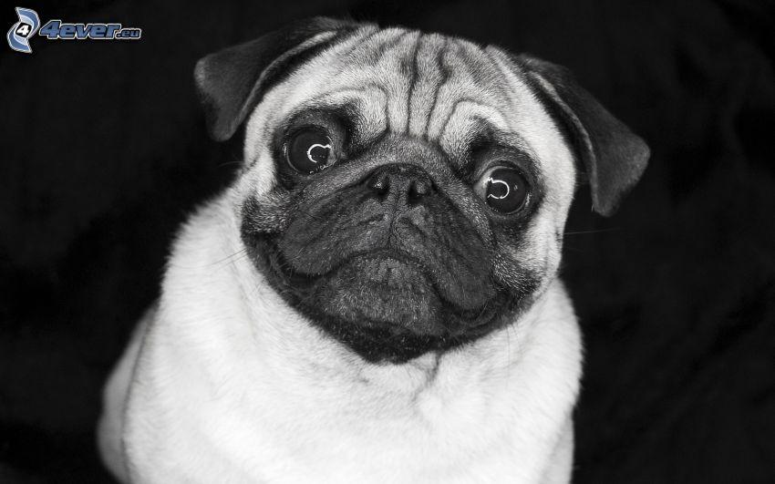 mops, czarno-białe zdjęcie