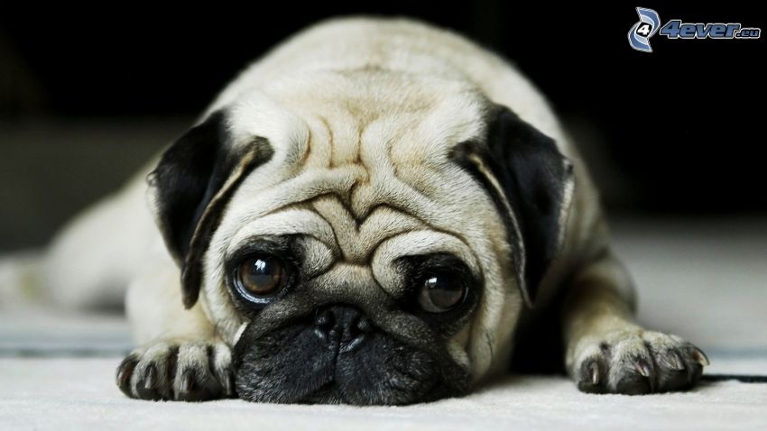 mops, smutny pies