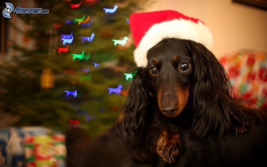 pies, czapka Świętego Mikołaja