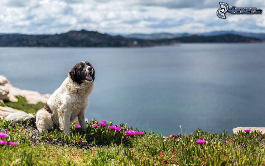 pies, jezioro, różowe kwiaty